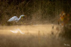 Airone bianco (Ardea alba)