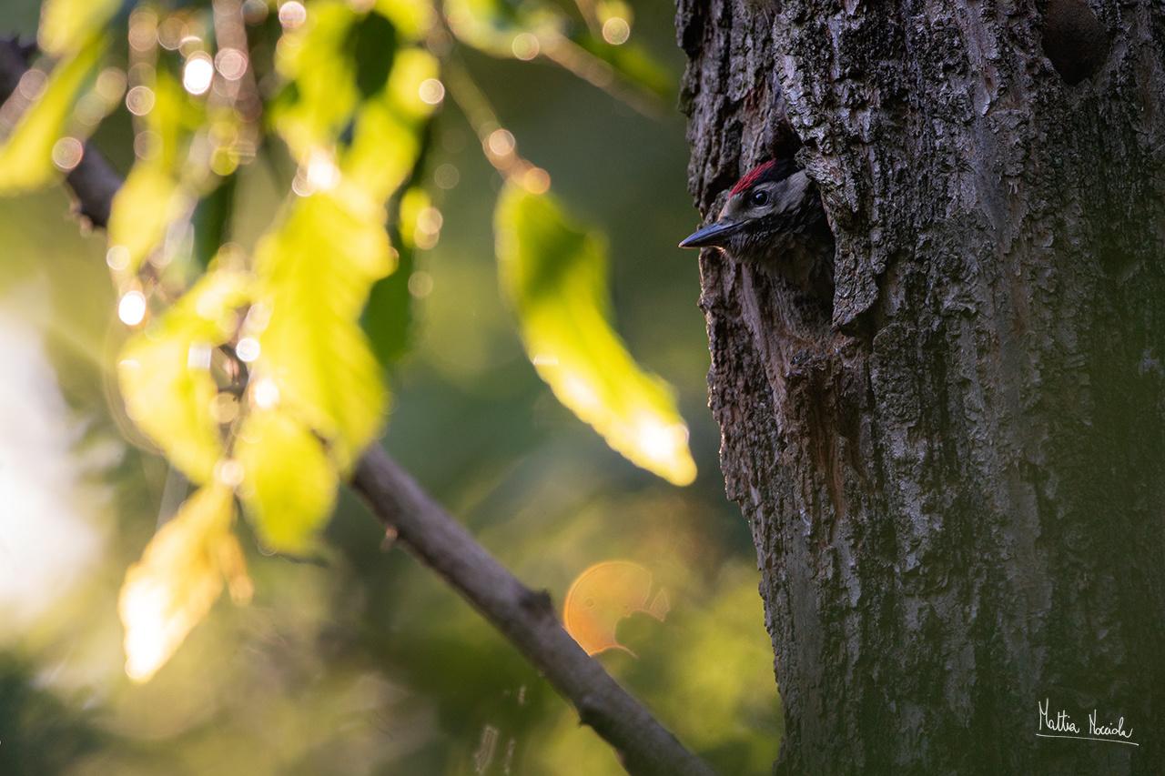 Picchio rosso maggiore giovane (Dendrocopos major)