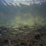 La squadriglia (Perca fluviatilis)
