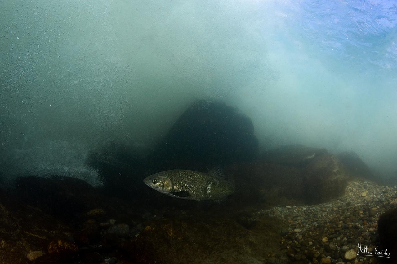 Cavedano (Squalius squalus)