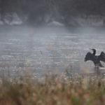 Cormorano alba (Phalacrocorax carbo)