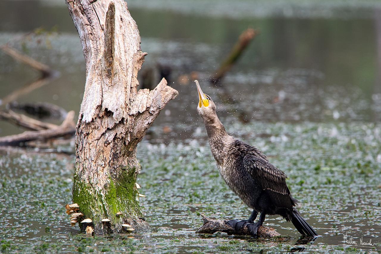 Cormorano immaturo (Phalacrocorax carbo)
