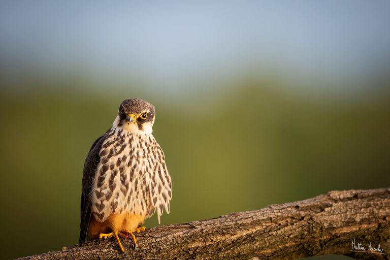 Falco lodolaio (Falco subbuteo)