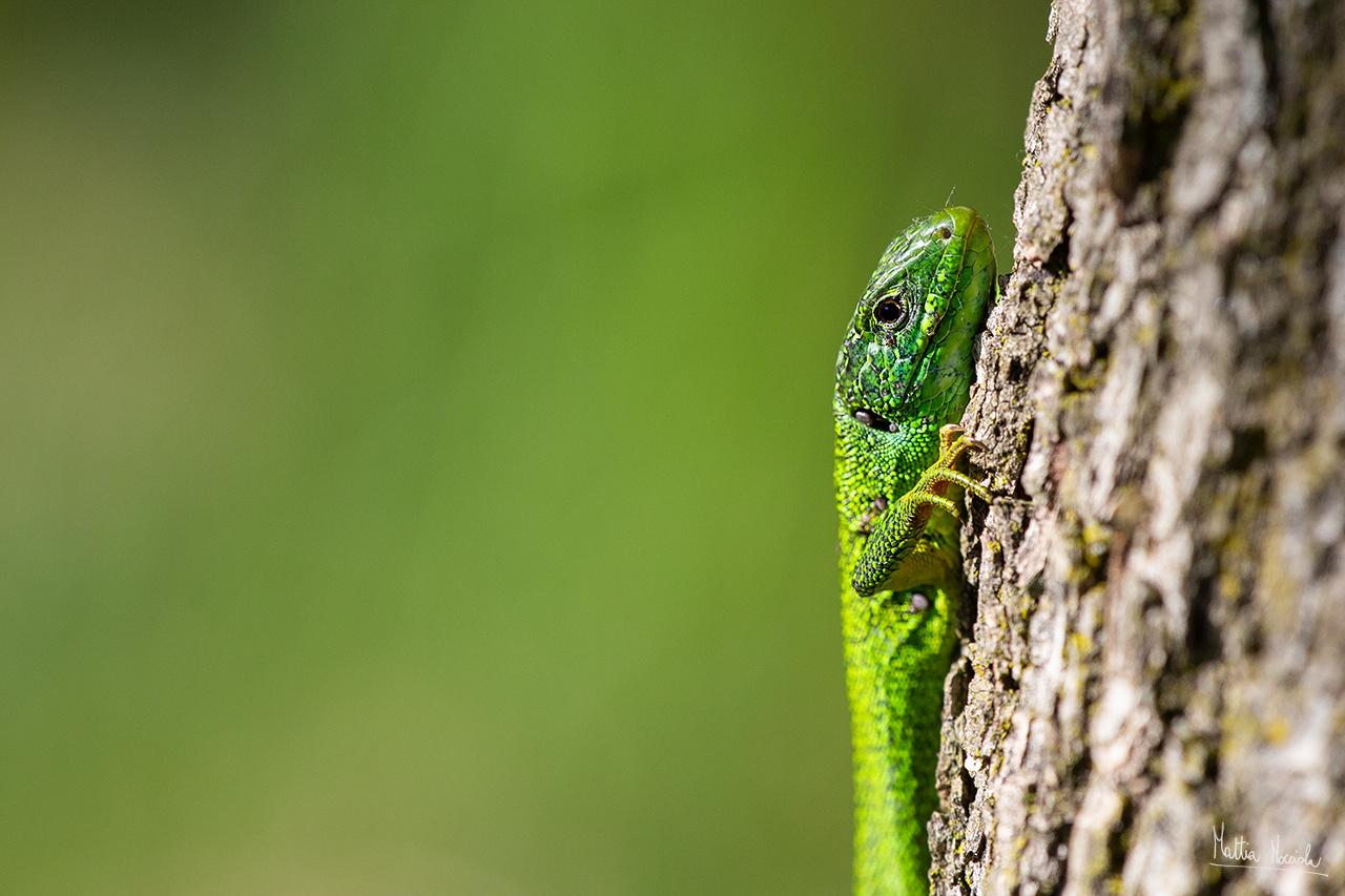 Ramarro (Lacerta viridis)