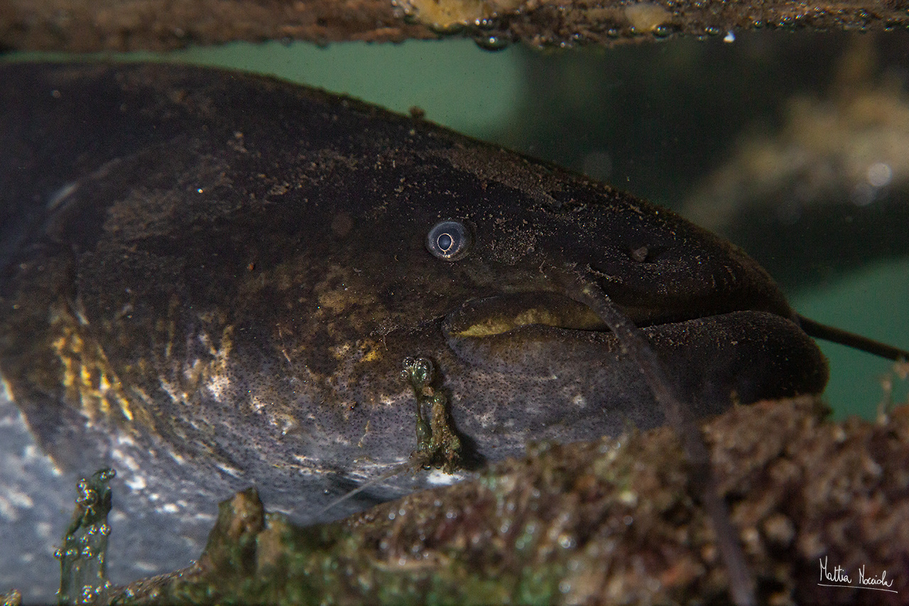 Pesce siluro (Silurus glanis)