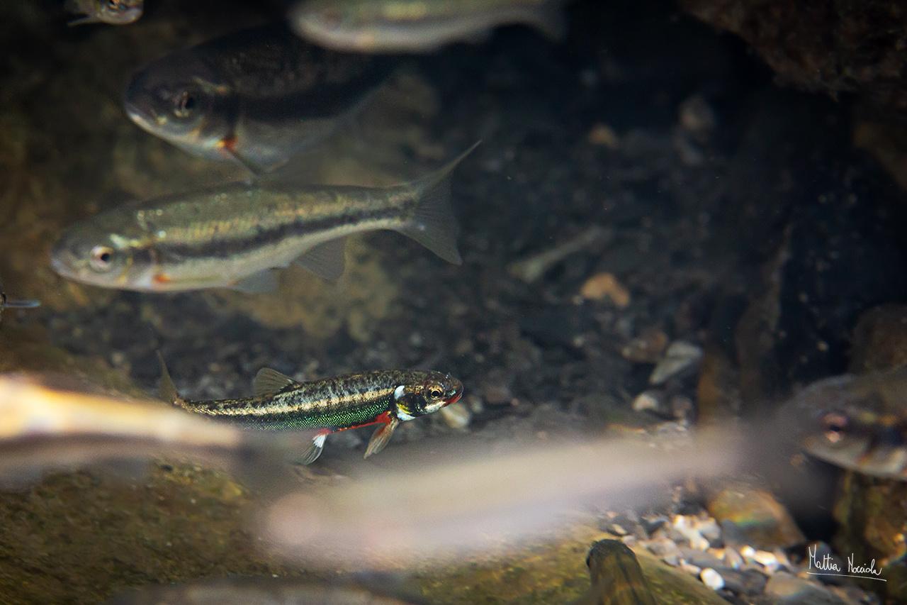 Sanguinerola maschio in livrea nunziale (Phoxinus phoxinus)