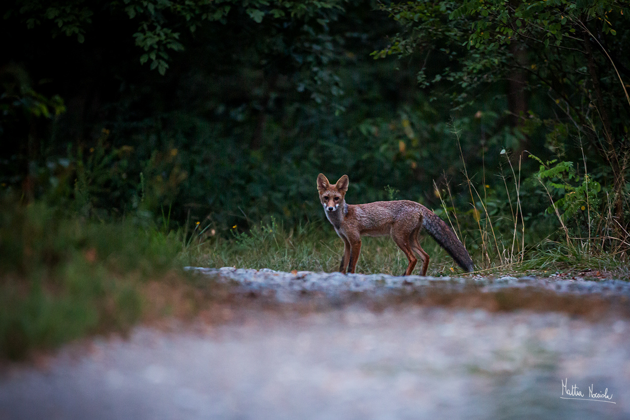 On the road (Vulpes vulpes)