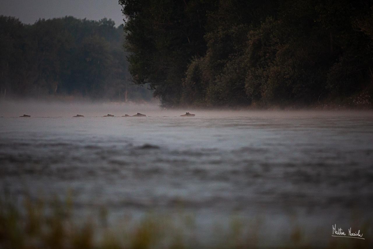Attraverso il fiume (Sus scrofa)